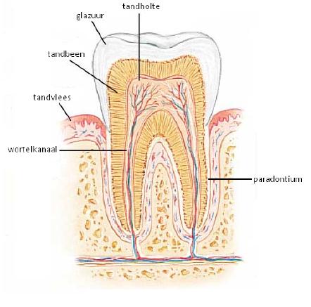 5-weetjes-over-tanden-tandbeen-darwin-kliniek-zoetermeer