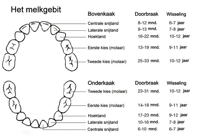 Het-melkgebit-ontwikkeling-melkgebit-en-ontstaan-melkgebit-Darwinkliniek-tandartspraktijk-Zoetermeer