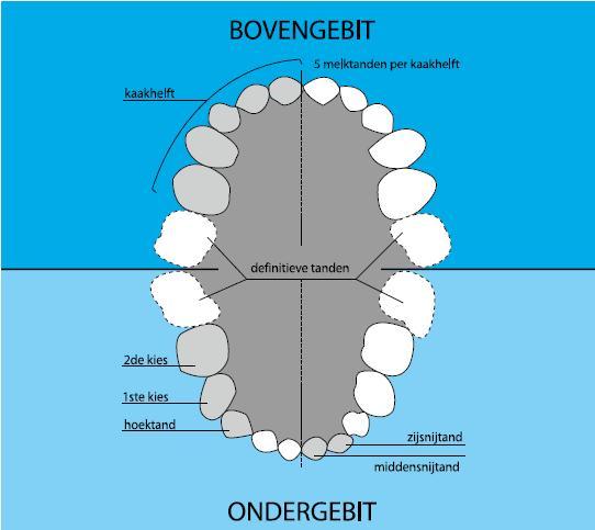Melkgebit-versus-definitief-gebit-Darwinkliniek-tandartspraktijk-Zoetermeer